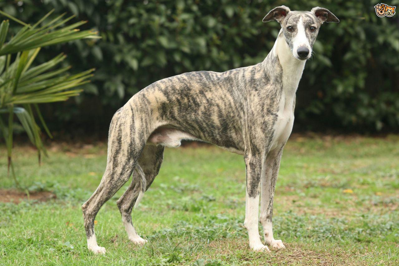 Large Medium Cross Breed Dogs For Sale In U K