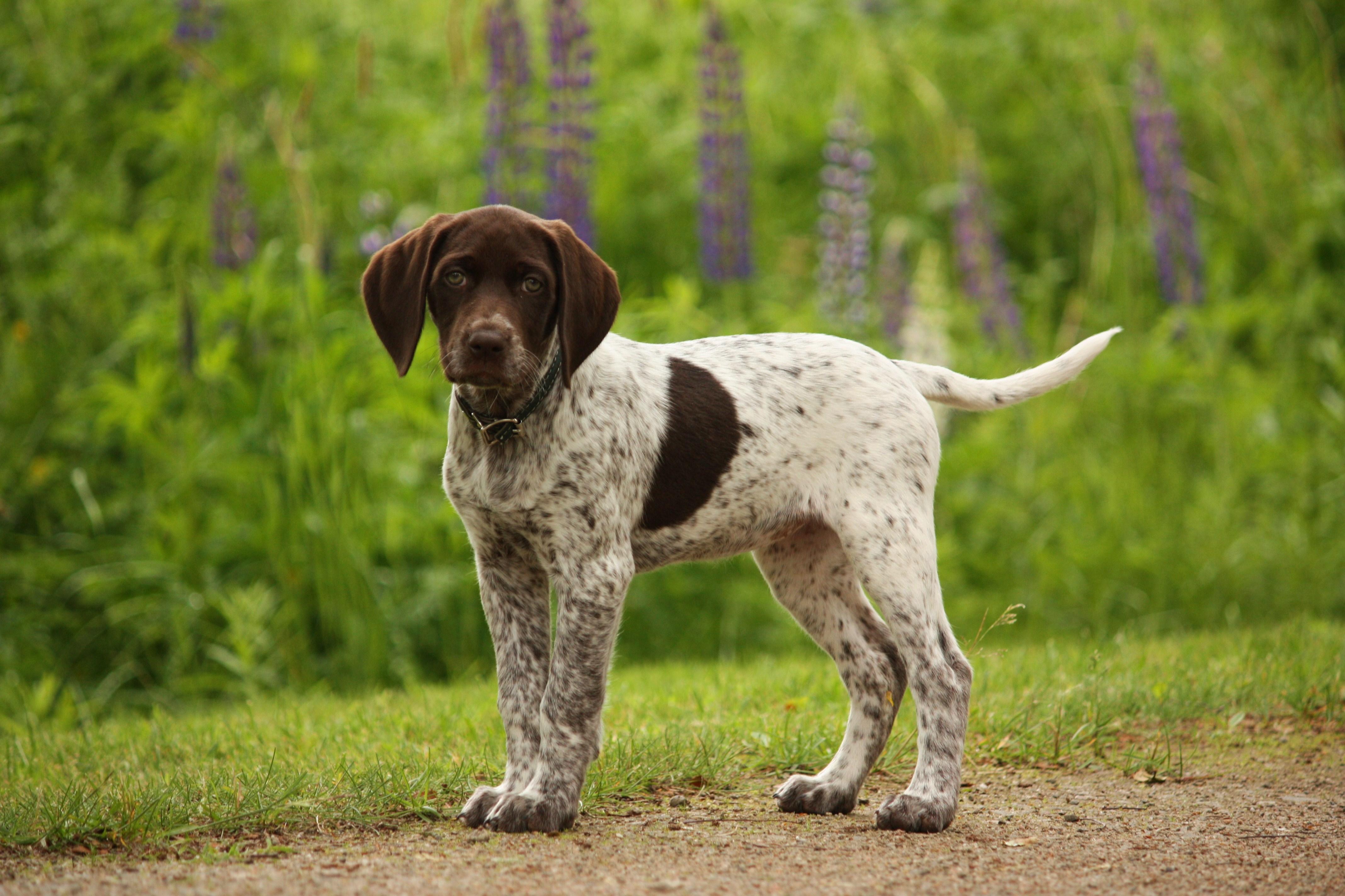 R T Pointer Great Dog Breeds - Ger...